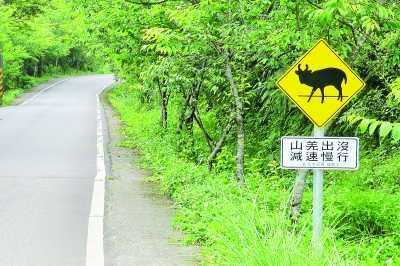 有保育类动物山羌出没,成为当地旅游新亮点,新北市特意设置减速告示牌